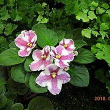 堤緣花語陶-淨化室內空氣植物-非洲紫羅蘭 Tiyuans Twelfth lunar month臘月 [台灣育種]
