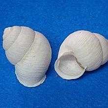 【鑫寶貝】貝殼DIY 細線蝸牛(白) 寄居蟹的家  口徑1.5cm DIY貼圖 盆栽造景、開店擺設  二顆20元