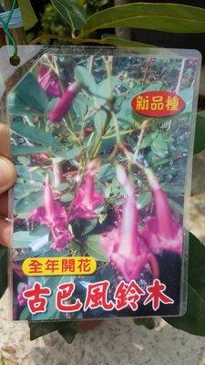 ╭*田尾玫瑰園*╯新品種樹苗--古巴風鈴木(加勒比女王)6吋60cm450元