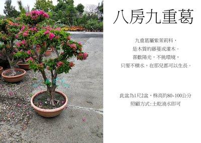 心栽花坊-八房九重葛/日本九重葛/造型樹/盆景/開花植物/售價2500特價2000