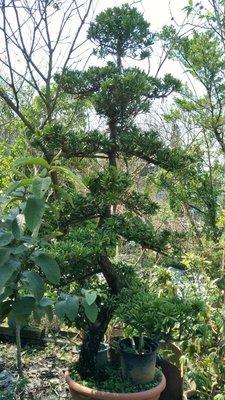 元茂園藝龍潭聖亭路園區 20年造型羅漢松盆栽,實品拍攝
