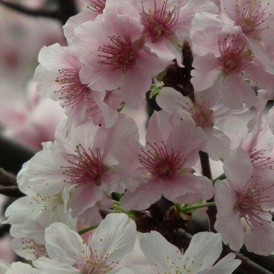 元茂園藝高鐵南路園區 移植袋裝櫻花-墨染櫻 8年樹齡,剛開是白花慢慢會變成粉紅花
