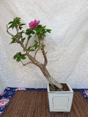 雅舍盆栽-八房九重葛