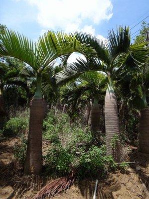 【旭昇景觀樹園藝行】酒瓶椰子樹高2-3米.米徑30-45公分黑松桂花油杉赤松九芎含笑羅漢松雪松