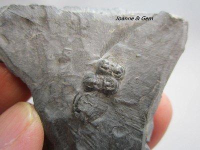 三葉蟲化石-球接子三葉蟲(Peronopsis interstricta)-古生代寒武紀5億~4億年的地球記憶