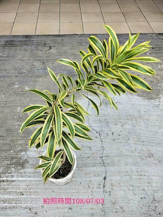 易園園藝- 黃邊百合竹D5室內盆栽小品/盆景高約60公分