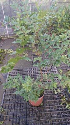 *~*台灣農業園藝*~*四季樹葡萄3年生(以快結果了),3棵西部免運費