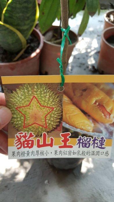 ╭*田尾玫瑰園*╯ 新品種水果苗-(貓山王榴槤)高60cm4500元