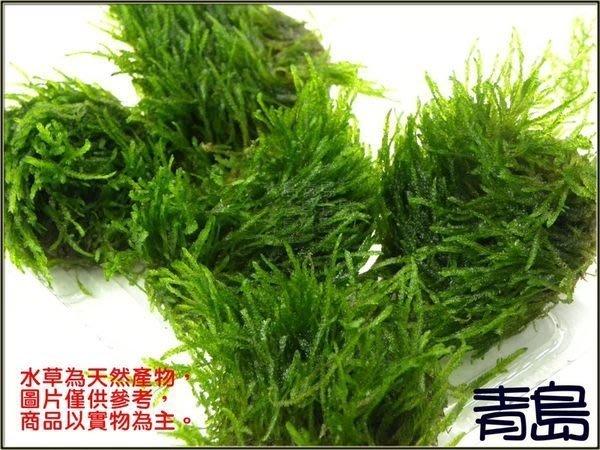 。。。青島水族。。。臺灣天然水草----【陰性】聖誕莫絲 火焰 莫斯 默思(石片)