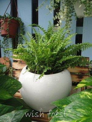 WISH FOREST【觀葉植物。波士頓腎蕨】~~有效淨化空氣的室內植物~好種