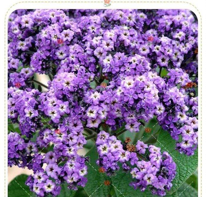 【小鮮肉肉】歐洲香水花 香水草-藍海洋(藍紫色)種子10粒裝 芳香花卉盆栽 陽台庭院易播