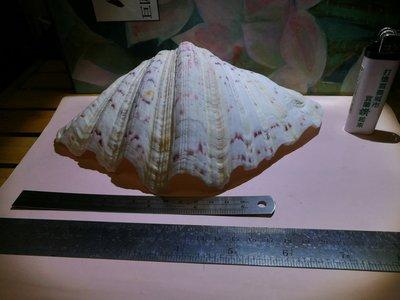 銘馨易拍重生網 106BK74 早期 天然寶盒大型貝殼(美品)  藏品、擺飾 保存現況如圖 特價標售 值得珍藏