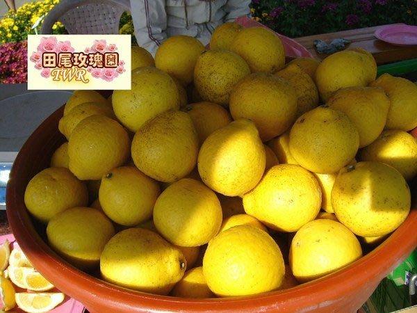 ╭*田尾玫瑰園*╯ 水果苗-(甜檸檬)-檸檬蜜柑-有檸檬的清香,口感如柑橘清甜