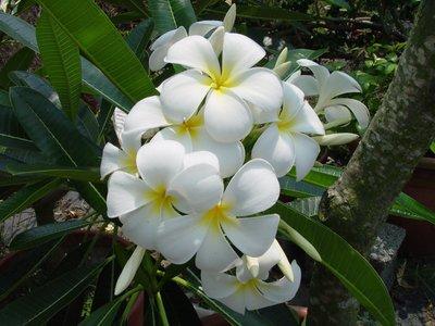 法森雞蛋花專業育種中心 白花品系:singapore White (新加坡白) 販售枝條