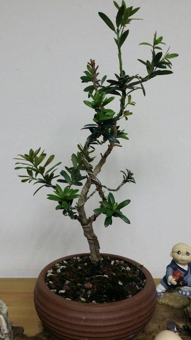 台中瘋小品-小品盆栽-紅芽珍珠羅漢松-2-特價