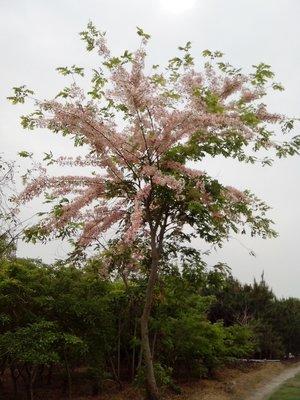 ※ 田尾Q園藝 ※ 花旗木中苗4~5尺高 粉紅陣雨樹