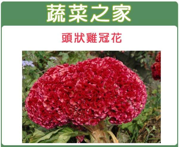 【蔬菜之家】H24.頭狀雞冠花種子35顆(紅色,高40~60cm.花卉種子)