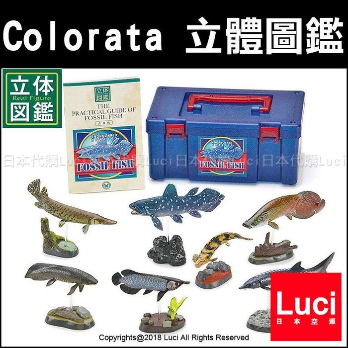 古代魚 Colorata 立體圖鑑 展示 教學模型 魚類生態 生物科學 仿真 玩具模型 LUCI日本代購