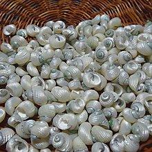 【貝殼工藝材料】-*洗亮草蓆鐘螺---1顆1元*- 高度約1.3~1.6公分
