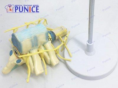 胸椎脊髓脊神經交感神經干模型  人體神經教學教具神經模