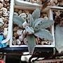 多肉植物 熊貓兔(凡購買即可獲贈以下植物枝條任選一種,送完為止……姬秋麗,重扇,銀之太鼓等)