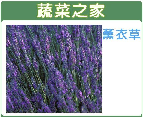 【蔬菜之家】K09.薰衣草種子50顆(狹葉)(開花後花穗與莖葉剪下,可做乾燥花、香袋、壓花或薰香料,亦適合作香草茶)