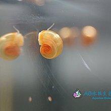 [AB水族生技工作室] 蘋果螺約0.5 cm 可當狗頭、河豚或螯蝦餌料 1顆1元 每買5顆送1顆