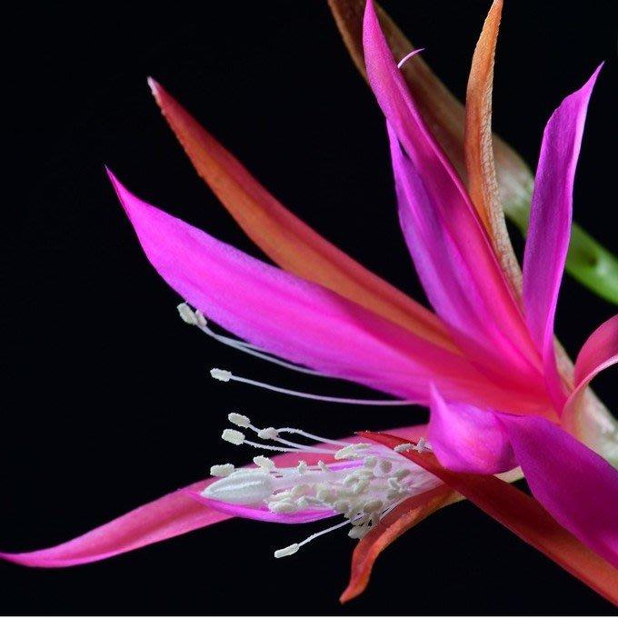 孔雀仙人掌莖葉 Epiphyllum Frulingspracht 總長30公分以上 [飛訊庭園]