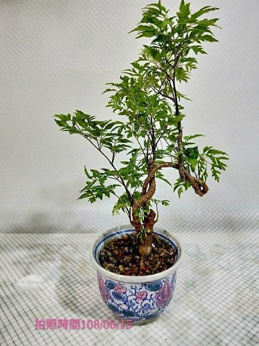 易園園藝- 羽葉福祿桐樹F42(福貴樹/風水樹)室內盆栽小品/盆景高約28公分