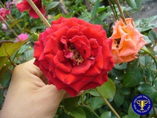 ╭*田尾玫瑰園*╯香花植物-玫瑰-( 諾利達.Norita)