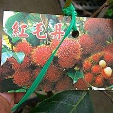 水果苗 ** 紅毛丹 ** 4吋盆/高30cm/營養成分能滋養身體【花花世界玫瑰園】R