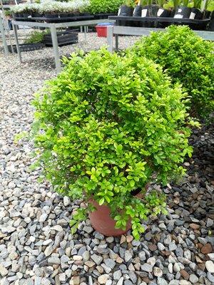 細葉球型-造型七里香-觀賞植物