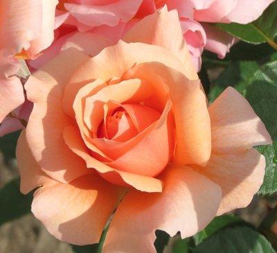 甜美杏子 Apricot Candy。悠遊山城(創始店)5-6吋盆玫瑰~特價180~任選3盆420
