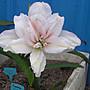 阿ken的園區~孤挺~多瓣~ Fluffy Ruffles ~ 波浪滾邊 ~近開花球~新春優惠價:269元