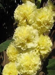 英國花園Alcea rosea Maid of Honour 重瓣蜀葵種子盆栽陽臺花壇易播好養:5入:004