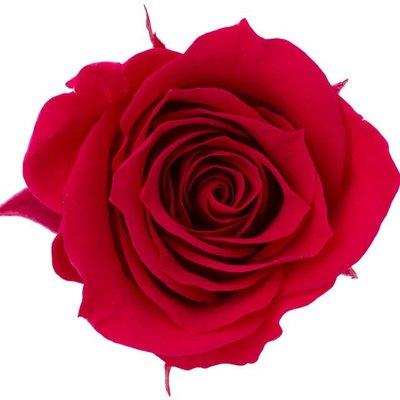 (預約)玫瑰 10盒入DO003840-272 ローズ・ミミ