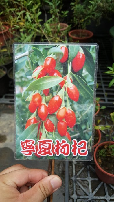 ╭*田尾玫瑰園*╯香料植物-(寧夏枸杞)4吋盆180元