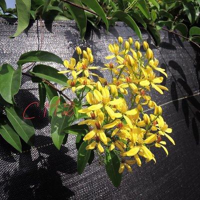 金香葡萄丶書帶木丶三星果藤、破布子、金葉擬美花,樹葡萄,中小苗大小不一,有需要提問