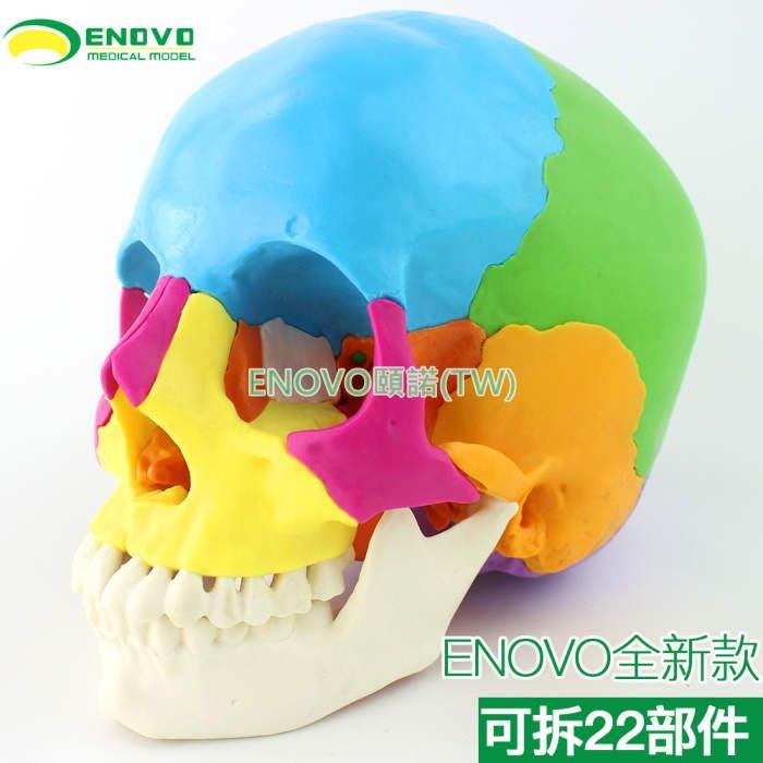 (ENOVO-308) 醫學用人體頭骨模型微整形美容口腔科頭顱骨可拆22部件