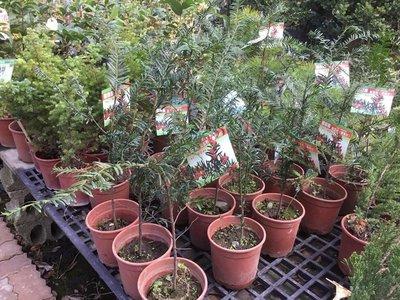 樹苗.喬木~紅豆杉- 5吋/不含盆高約15公分以上-花精靈植物的家