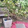 春花園藝行.海萄葡.白水木.雞蛋花...