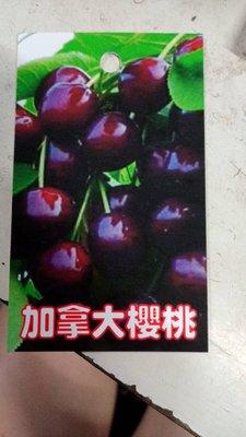 花花世界_季節水果苗--加拿大櫻桃(嫁接苗)--**酸甜好吃**/4.5吋盆/高20-30CM/TC