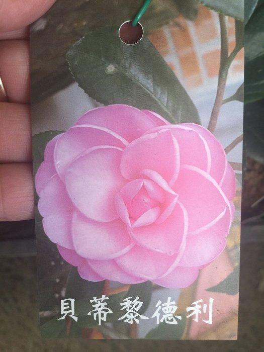 ╭*田尾玫瑰園*╯茶花--(貝利黎得莉)(伯拜范)(鮮奶油)(紅貝拉)(白寶塔)30cm60元