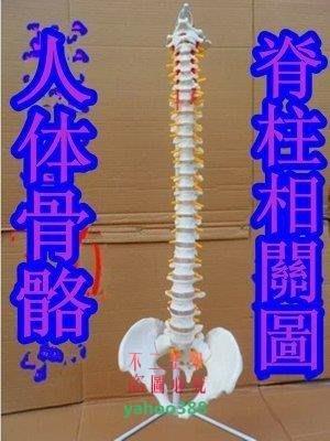 美學256脊柱模型人體脊椎1:1脊椎模型人體骨骼模型3546❖68191