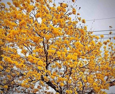 (青山園藝)  黃金風鈴木   黑松真柏桂花油杉七里香