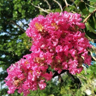 元茂園藝龍潭園區 紫薇 嫁接三到四週年盆栽