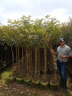 (青山園藝) 黃金風鈴木  米徑約2cm 高度約2,5米 真柏桂花黑松七里香