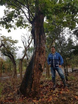 (青山園藝) 茄苳 米俓約2尺 高度約12米 櫸木黑松真柏九芎肖楠七里香