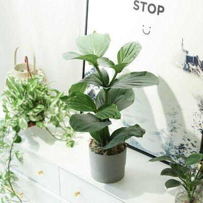 莉迪卡娜~寶蓮燈花卉盆栽燈樓花吊籃花卉植物室內荷蘭進口鮮花珍珠寶蓮燈