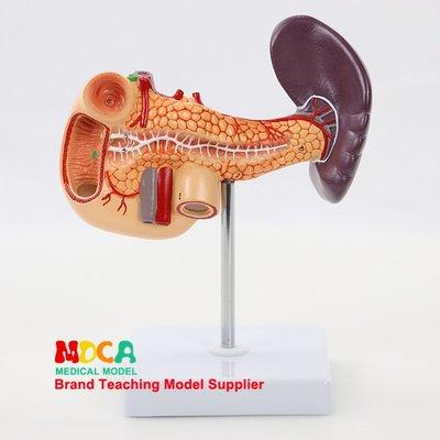 胰腺消化系統脾膽十二指腸肝臟膽囊脾臟模型醫學教學 MCW002